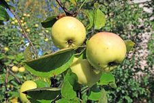 Free Apple On Branch Stock Images - 15409034