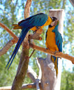 Free Two Blue-and-Yellow Macaw (parrots) Royalty Free Stock Photography - 15410147