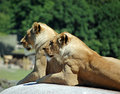 Free Close-up Portrait Of Two Lions Stock Images - 15410154