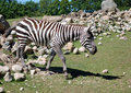 Free Zebra In A Shaded Oasis Royalty Free Stock Image - 15410156