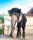 Free Beautiful Giant Indian Elephant Standing Stock Photos - 15411063