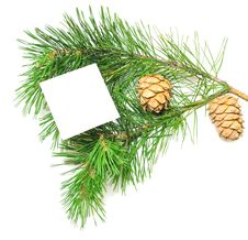 Free Branch Of Pine With Cones Royalty Free Stock Images - 15410519