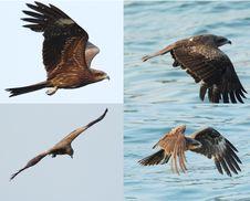 Free Black Kite_03 Stock Photo - 15410530