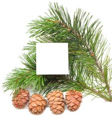 Free Branch Of Pine With Cones Stock Photos - 15410553