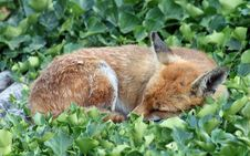 Free Fox 2 Stock Image - 15410881