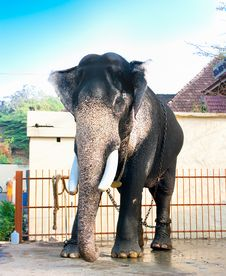 Free Beautiful Giant Indian Elephant Standing Stock Photos - 15411063