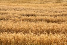 Free Field Of Rye Stock Photo - 15411140