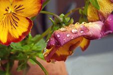 Wet Violet Flowers Stock Images