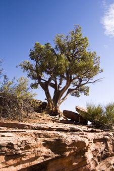Free Juniper Tree Royalty Free Stock Photos - 15411168
