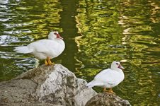A Pair Of Geese Royalty Free Stock Image