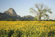 Free Sunflower Field Stock Photography - 15413462