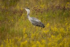 Free Heron In Meadow Royalty Free Stock Image - 15413756