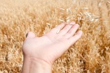 Free The Oats Flies Royalty Free Stock Images - 15414649