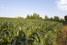 Free Corn Field Royalty Free Stock Image - 15414816