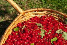 Free Red Currant Stock Image - 15414901