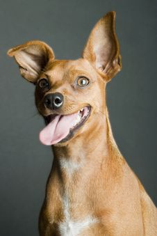 Free Miniature Pinscher Looking Up Stock Images - 15415034