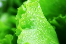 Free Lettuce Stock Photos - 15416673