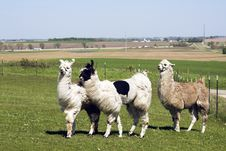 Free Lama Farm Royalty Free Stock Images - 15417199
