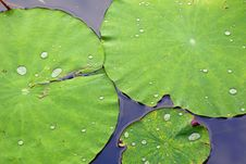 Free Green Lotus Leaf With Water Drop Royalty Free Stock Photo - 15417595