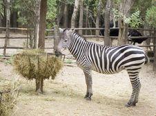 Free Zebra Royalty Free Stock Photography - 15417827