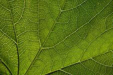 Green Leaf Close-up Stock Images
