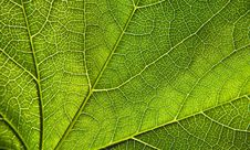 Free Green Leaf Close-up Royalty Free Stock Photos - 15418508