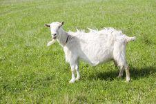 Free Goat Royalty Free Stock Photos - 15418568