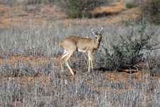 Steenbok In The Kgalagadi Stock Images