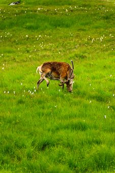 Free Wild Deer Royalty Free Stock Photos - 15419878