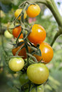 Free Tomatoes Royalty Free Stock Image - 15422606