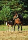 Free Mare And Foal Royalty Free Stock Photography - 15428827