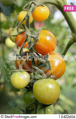 Free Tomatoes Royalty Free Stock Image - 15422606