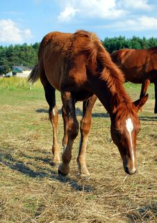 Free Chestnut Foal Royalty Free Stock Photography - 15420087