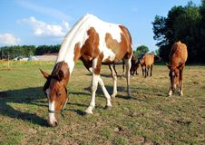 Free Grazing Horses Stock Photos - 15420113