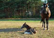 Free Mare And Newborn Foal Royalty Free Stock Photography - 15420307