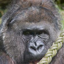 Free Gorilla Stock Photo - 15421410