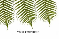 Free Three Ferns Royalty Free Stock Image - 15422186