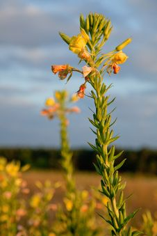 Free Mallow Flower Stock Image - 15422881