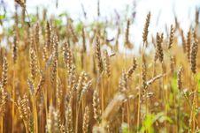 Free Wheat Field Stock Photo - 15422910