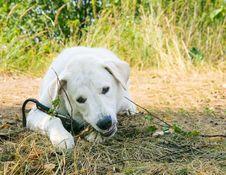 Free Dog Gnaws A Stick Royalty Free Stock Photo - 15423555