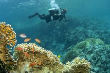 Coral And Scuba Diver Royalty Free Stock Images