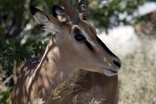 Free Impala Male Stock Photography - 15424332