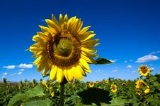 Free Sunflowers Stock Photography - 15424492