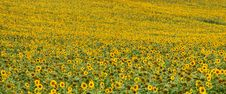 Free Field With Sunflowers Stock Photo - 15425120