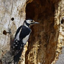 Free Great Spotted Woodpecker Stock Photos - 15425333