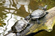 Free Turtles Royalty Free Stock Images - 15426049