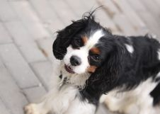 Free Cavalier King Charles Spaniel Royalty Free Stock Photos - 15426148