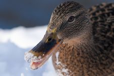 Free Mallard Duck Female Portrait In Winter Royalty Free Stock Photo - 15426825