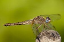 Scarlet Dragonfly, Macro Royalty Free Stock Images