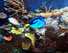 Free Blue Tang Royalty Free Stock Photography - 15427007